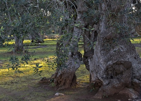 Most ancient olive tree